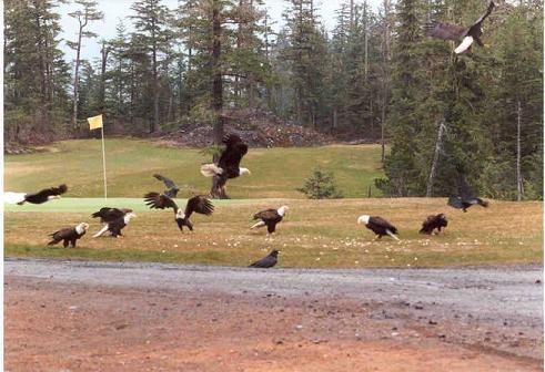 Eagles on Golf Course